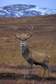 Lone-Stag-2-280x421