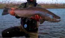Sea-trout-eyjafjardara