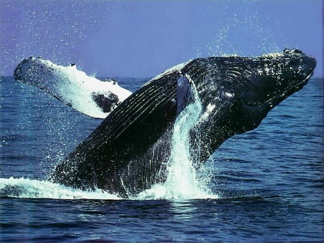 humpback_whale-1_edited